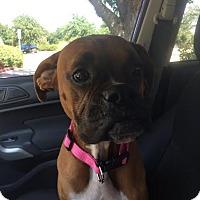 Boxer Dog for adoption in Hurst, Texas - Nicole Kidman