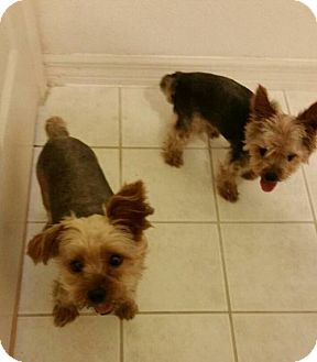 Yorkie, Yorkshire Terrier Dog for adoption in Palm Harbor, Florida - Cookie & Benji