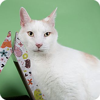Domestic Shorthair Cat for adoption in Wilmington, Delaware - Lake Toe