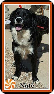 Border Collie Mix Dog for adoption in Tombstone, Arizona - Nate