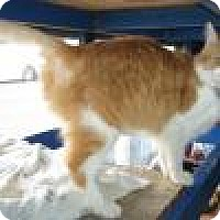 Domestic Shorthair Cat for adoption in Powell, Ohio - Goldie