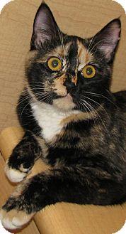 Calico Cat for adoption in Tulsa, Oklahoma - Elvira