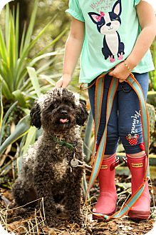 Schnauzer (Miniature)/Poodle (Miniature) Mix Dog for adoption in Auburn, California - Howie