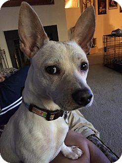 Chihuahua/Jack Russell Terrier Mix Dog for adoption in Glastonbury, Connecticut - Tanto~ meet me!