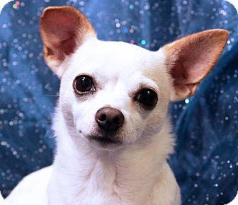 Chihuahua Dog for adoption in Arlington, Virginia - Sake