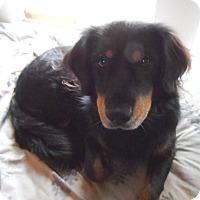 Spaniel (Unknown Type) Mix Dog for adoption in Houston, Texas - Maya