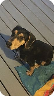Black and Tan Coonhound/Beagle Mix Puppy for adoption in Ellaville, Georgia - Sophie