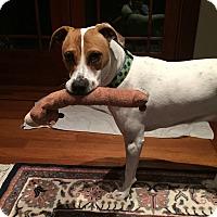 Hound (Unknown Type)/American Staffordshire Terrier Mix Dog for adoption in Sonoma, California - Regan
