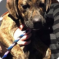 Boxer Mix Puppy for adoption in Manchester, Connecticut - Marten in CT