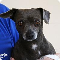 Adopt A Pet :: Perla - Santa Maria, CA