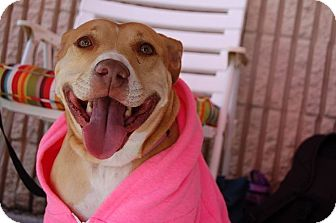 Pit Bull Terrier Mix Dog for adoption in Jacksonville, Florida - Pippa