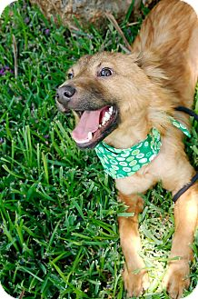 Sheltie, Shetland Sheepdog Mix Puppy for adoption in Houston, Texas - Champ