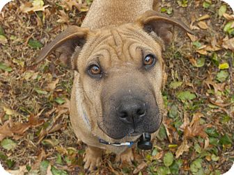 Shar Pei Mix Dog for adoption in Mira Loma, California - Neo