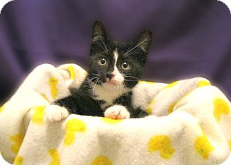 Domestic Shorthair Kitten for adoption in Richmond, Virginia - Teaco