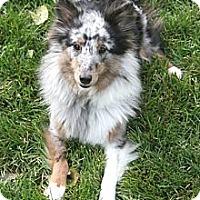 Adopt A Pet :: Little Ava - Circle Pines, MN