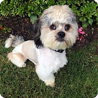 Adopt A Pet :: PADDINGTON BEAR - Los Angeles, CA