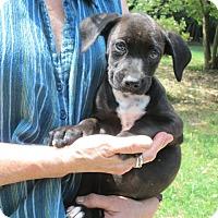 Adopt A Pet :: Odyssey - Brookside, NJ