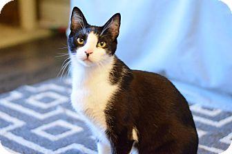 Domestic Shorthair Cat for adoption in Modesto, California - Tweedle Dum