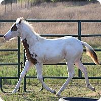 Adopt A Pet :: Pandora $1500 - Seneca, SC
