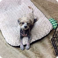 Adopt A Pet :: Gizmo - Tavares, FL