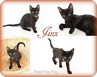 Domestic Shorthair Kitten for adoption in Stafford, Virginia - Jinx