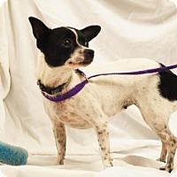 Adopt A Pet :: Petunia - Chalfont, PA