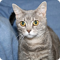 Domestic Shorthair Cat for adoption in Marietta, Ohio - Bright Eyes (Spayed) - Update