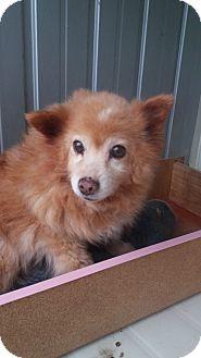 Pomeranian Mix Dog for adoption in Oakton, Virginia - Dodge