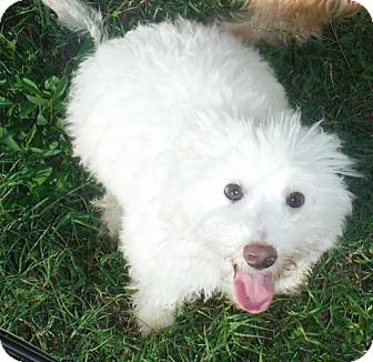 Bichon Frise/Toy Poodle Mix Puppy for adoption in Flanders, New Jersey - Snoopy