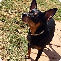 Dachshund/Chihuahua Mix Dog for adoption in Spartanburg, South Carolina - Booper