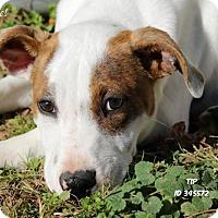 Adopt A Pet :: Tip - Camden, DE