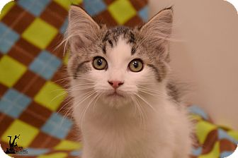 Domestic Mediumhair Kitten for adoption in Flushing, Michigan - Millie