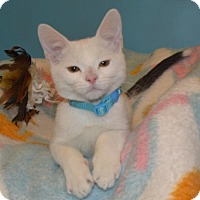 Domestic Shorthair Kitten for adoption in Cincinnati, Ohio - Mikey