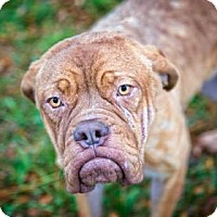 Dogue de Bordeaux/Terrier (Unknown Type, Medium) Mix Puppy for adoption in Fulton, Missouri - Clarice- Ohio