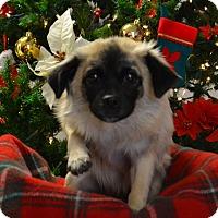 Adopt A Pet :: Roxy - Lebanon, MO