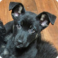 German Shepherd Dog Mix Puppy for adoption in Waterbury, Connecticut - Violet- * ADOPTED *