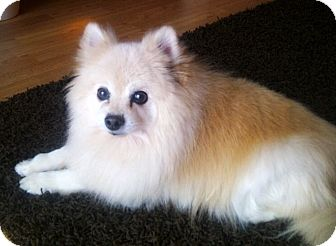 Pomeranian Mix Dog for adoption in Toronto, Ontario - Prince