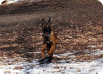 Belgian Malinois Dog for adoption in Grand Rapids, Michigan - Ranger