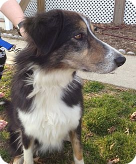 Australian Shepherd/Collie Mix Dog for adoption in Richmond, Virginia - Lady
