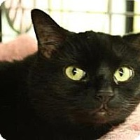 Domestic Shorthair Cat for adoption in West Des Moines, Iowa - Sasha