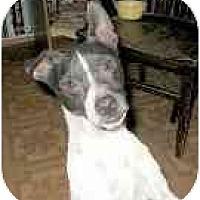 Adopt A Pet :: Badger - Topeka, KS