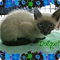 Adopt A Pet :: Daiquiri - Bradenton, FL