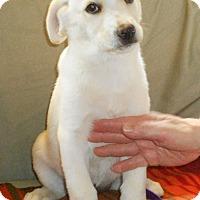 Adopt A Pet :: Lab/Shepherd Mix Pup-Katie - Midlothian, VA