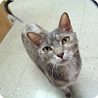 Domestic Shorthair Cat for adoption in St. Louis, Missouri - Stormy- Courtesy Post