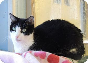 Domestic Shorthair Cat for adoption in Westville, Indiana - Cleo