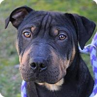 Adopt A Pet :: SIMON - Red Bluff, CA