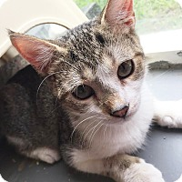 Domestic Shorthair Kitten for adoption in Boca Raton, Florida - Annie Oakley