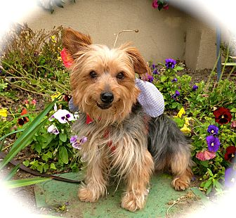 Yorkie, Yorkshire Terrier/Silky Terrier Mix Dog for adoption in Burbank, California - Adorable Nicky-VIDEO