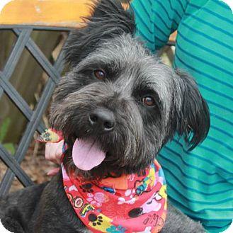 Standard Schnauzer Mix Dog for adoption in Garfield Heights, Ohio - Prince-PENDING