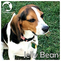 Adopt A Pet :: Jelly Bean - Novi, MI